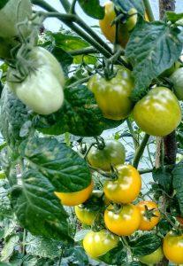 pomidor Olka Polka - uprawa na balkonie