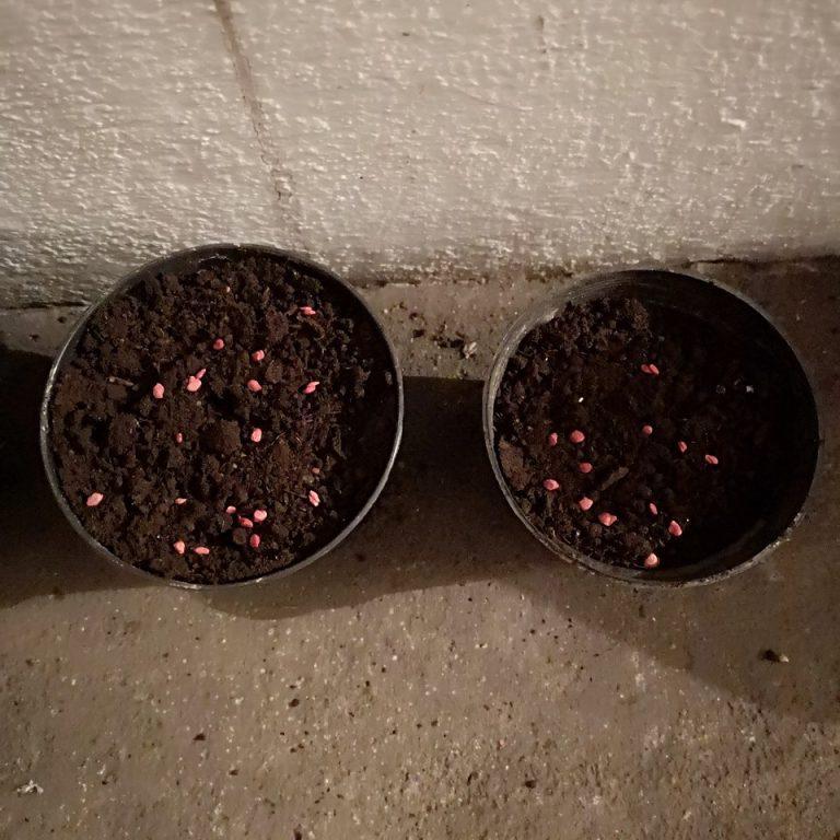 wysiew pomidorów