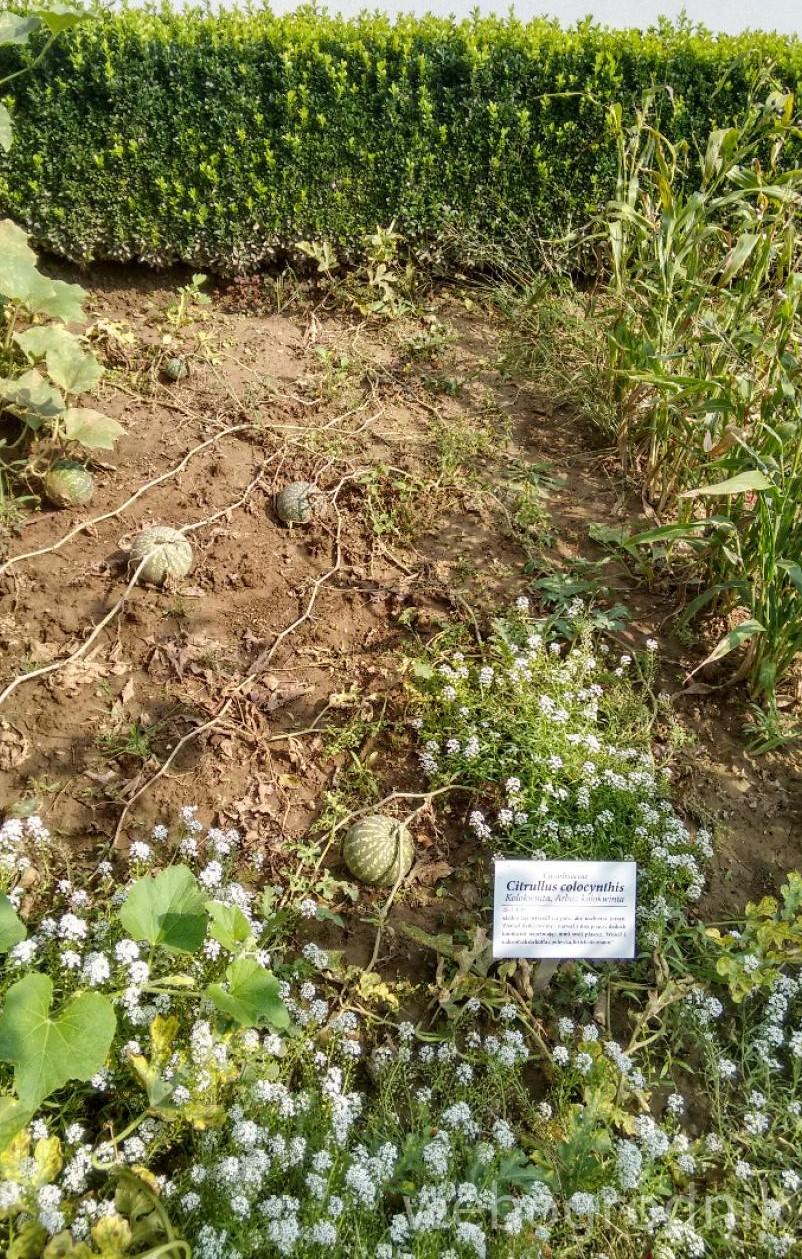 jak rośnie arbuz