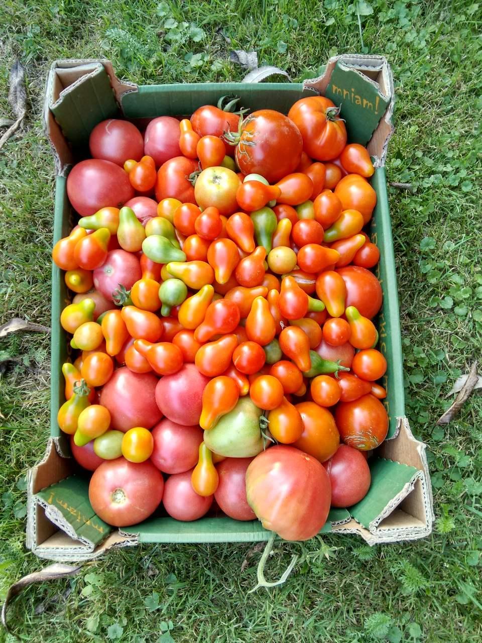 Najbardziej plenne pomidory