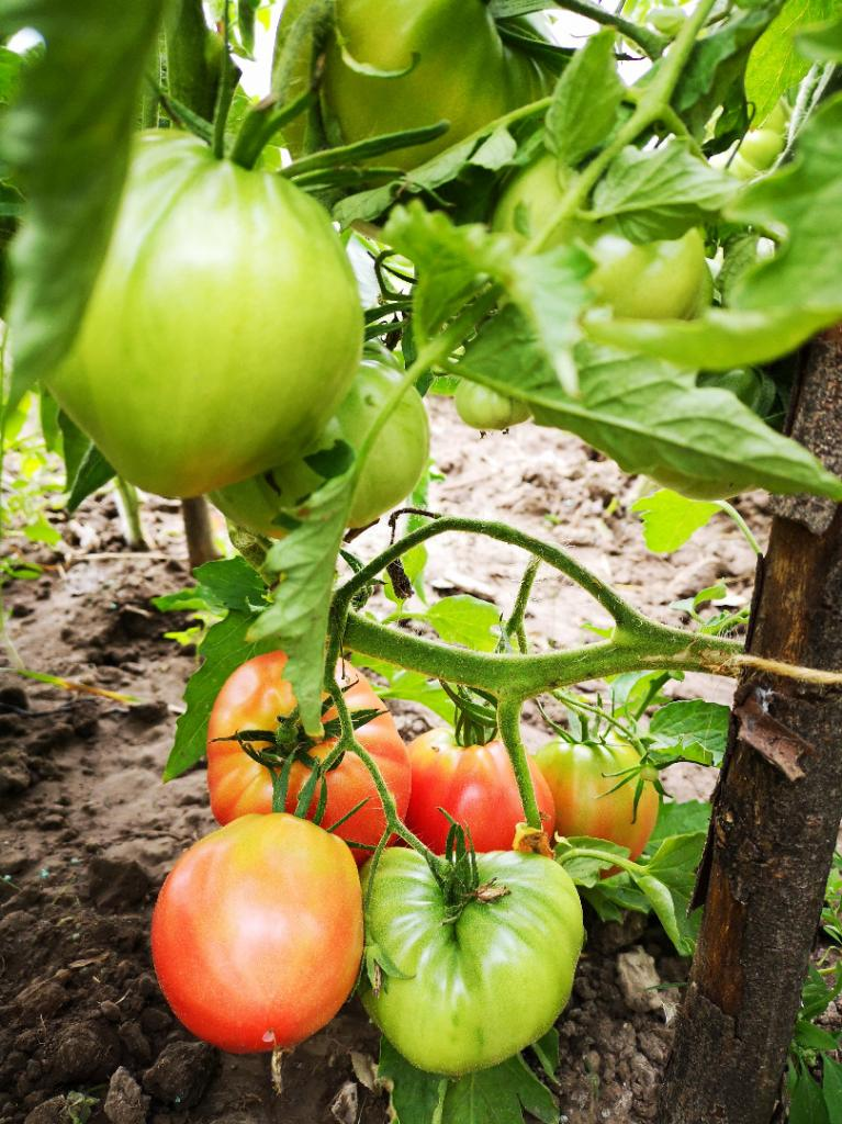 Najbardziej plenne odmiany pomidora