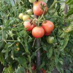 pomidory faworyt