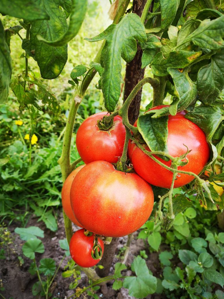pomidor malinowy faworyt