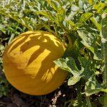 żółty arbuz złoto wolicy