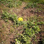 uprawa arbuza złoto wolicy
