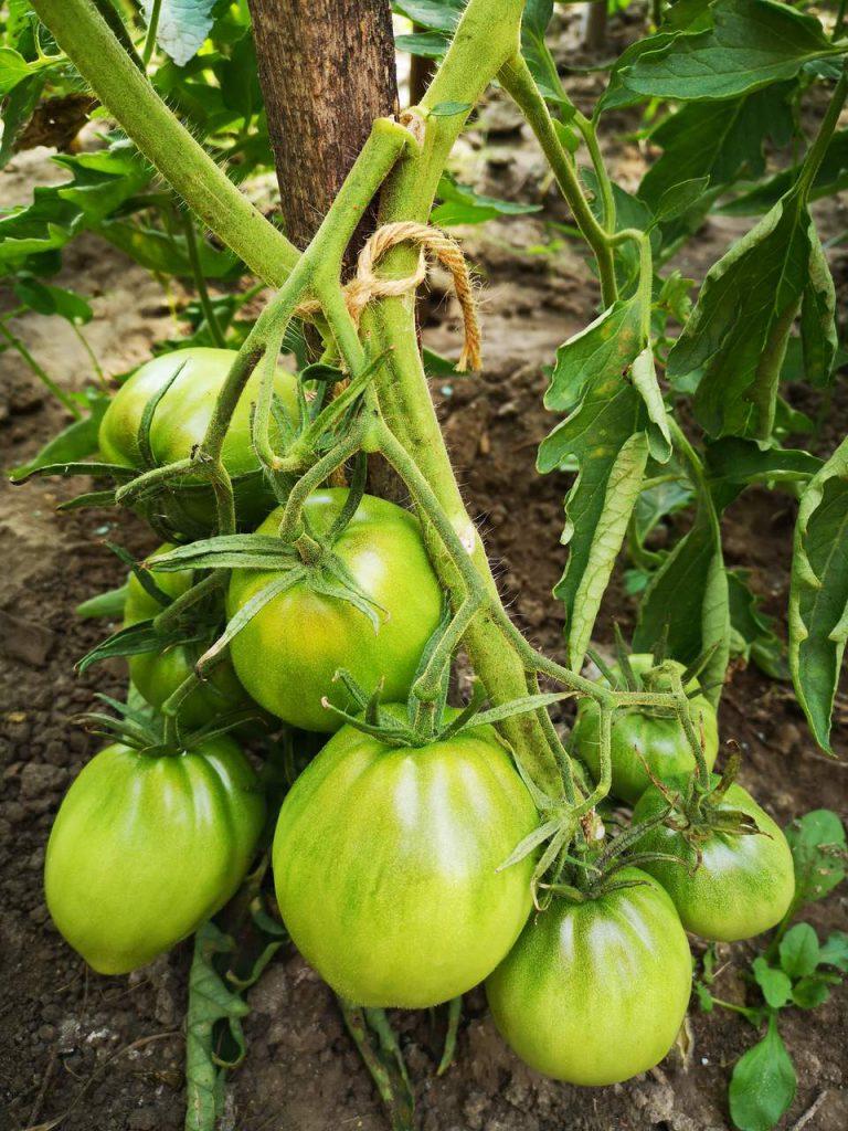 Pomidor malinowy Bawole Serce